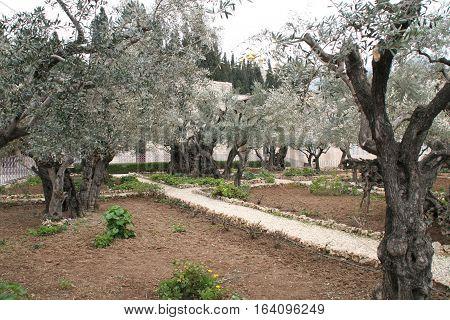 Olive Trees in Garden near Gethsemane in Jerusalem, Israel