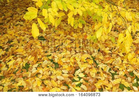 Yellow leaves fell on the floor and on the branch