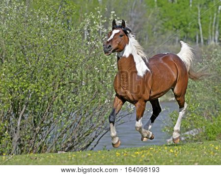 Domestic Horse Pinto Arab Gelding galloping in meadow