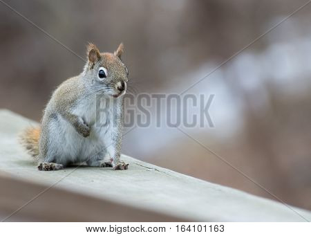 A red squirrel perched on a wooden fence.