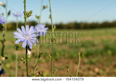 Blue сornflowers on a background of field and blue sky. Centaurea cyanus