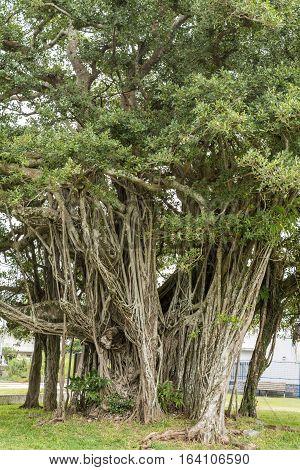 Longevity large malayan banyan tree in Okinawa