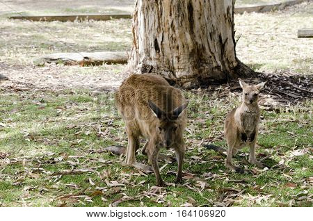 the kangaroo and joey are in the middle of a field