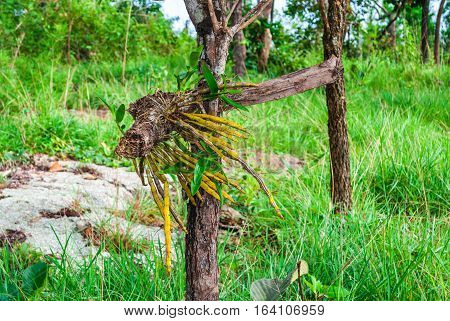Wild Orchid Growing on Tree [Dendrobium] in Green Field