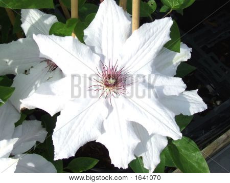 Close-Up All White Clematis