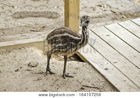 the emu chick is walking in the park