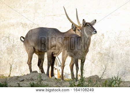Image of an antelope standing staring on nature background. Wild Animals.