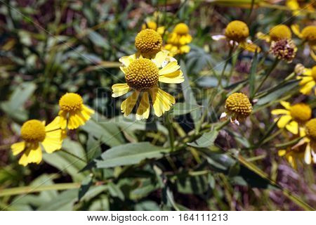 Common sneezeweed (Helenium autumnale), also called large-flowered sneezeweed, blooms in Joliet, Illinois during September.