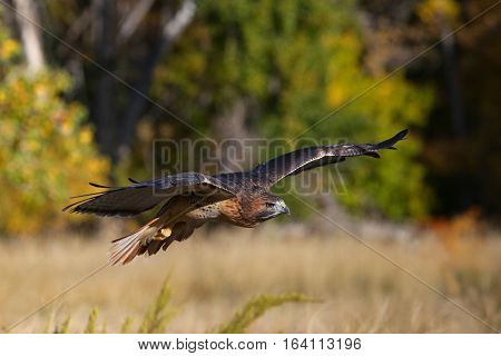 Red-tailed hawk (Buteo jamaicensis) low in flight
