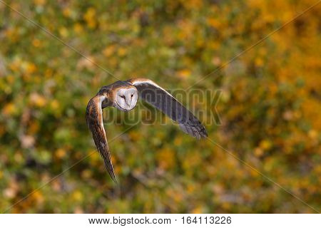Barn owl (Tyto alba) in flight near trees
