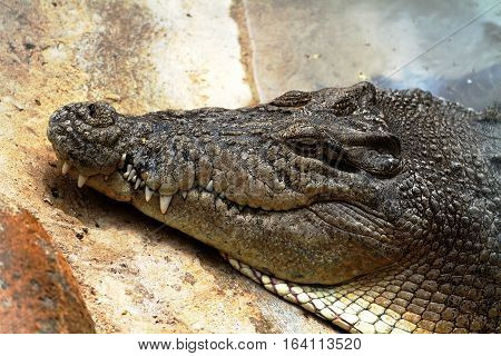 North Queensland Australian Saltwater Crocodile - Crocodylus porosus