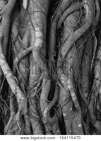 black and white of Banyan Tree root texture background