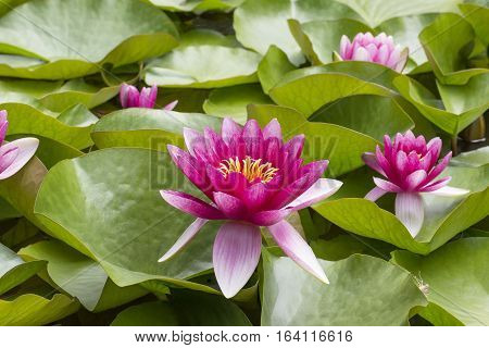 Pink flowers of nenuphar (Nymphaea) with leaves .