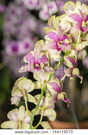 Hybrid Yellow Dendrobium orchid flower on nature background