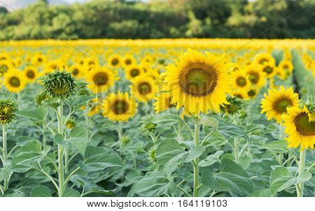 Beautiful Blooming Sunflower Field In Thailand.
