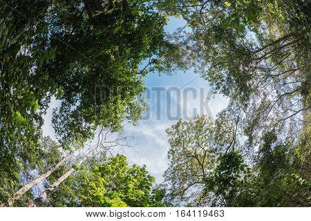 Canopy Tree Of Mixed Deciduous Forest In Thailand.