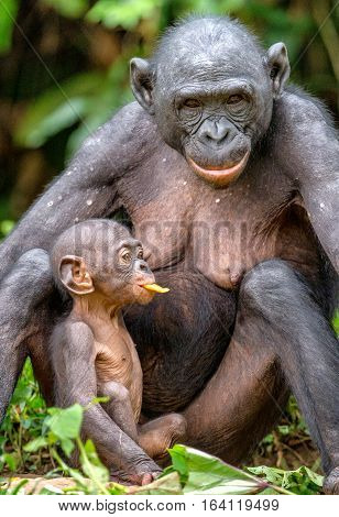 Mother And Cub Of Bonobo In Natural Habitat. Close Up Portrait . Green Natural Background. The Bonob