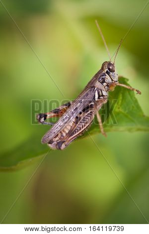 Grasshopper With Shallow Depth Of Field. Focus In On Eye.