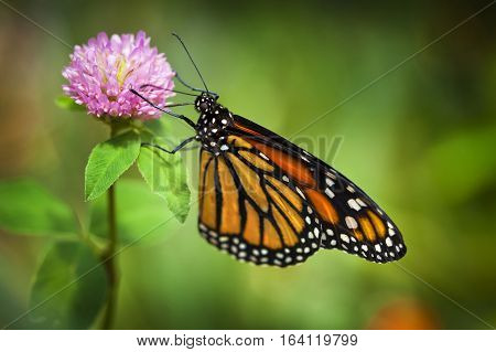 Monarch Butterfly On Pink Flower With Shallow Depth Of Field. Focus Is On The Insects Eye.