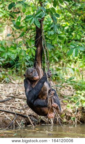 Wild female Bonobo hanging from lianas and drink from pond. Natural habitat. The Bonobo ( Pan paniscus) called the pygmy chimpanzee. Democratic Republic of Congo. Africa