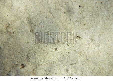 Two Camouflaged Flounders At The Sea Bottom