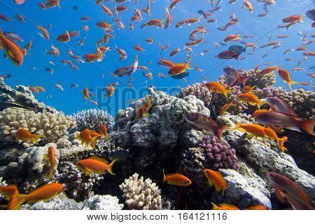 Anthias On The Coral Reef