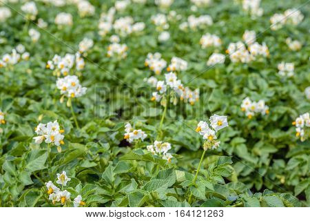 Closeup of many yellow and white blooming potato plants in a large field on a sunny day in the early summer season.