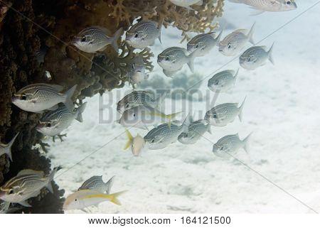 Fusilier Fish School