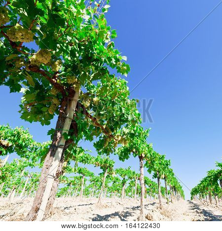 Vineyard in the Chianti Region of Italy