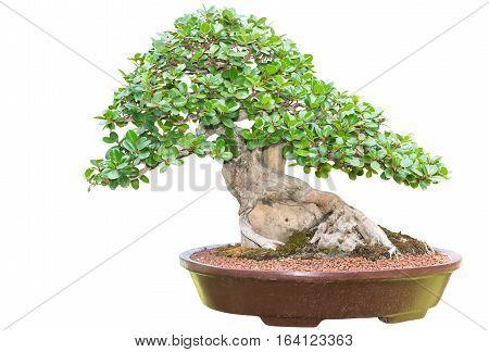Beautiful Bonsai Tree In Ceramic Pot Isolated
