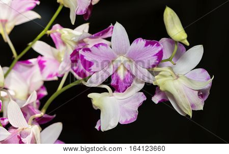 Beautiful Pink Dendrobium Orchid Flower.