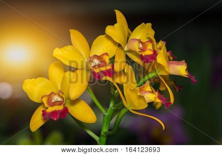 Beautiful Yellow Dendrobium Orchid Flower