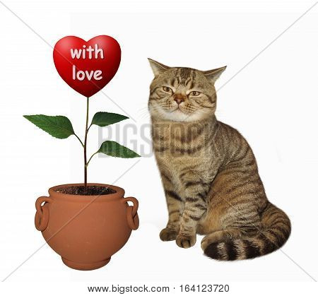 The handsome cat grows flower. He is a real agronomist. The flower looks like a big red heart marked