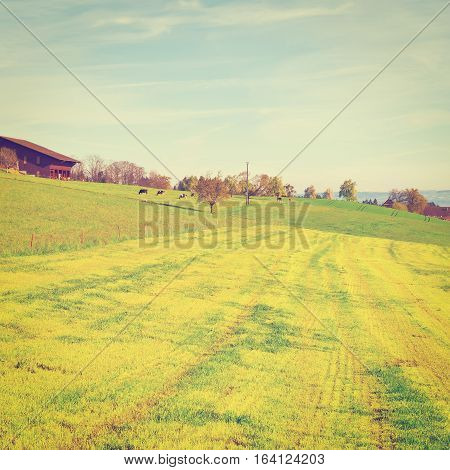 Cows Grazing on Green Pasture near the Cowshed in Switzerland Instagram Effect
