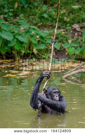 Bonobo In The Water. Natural Habitat. Green Natural Background. The Bonobo ( Pan Paniscus), Called T