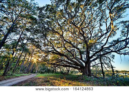 Moss draped Live Oak over the Edisto River at Botany Bay Plantation in South Carolina poster