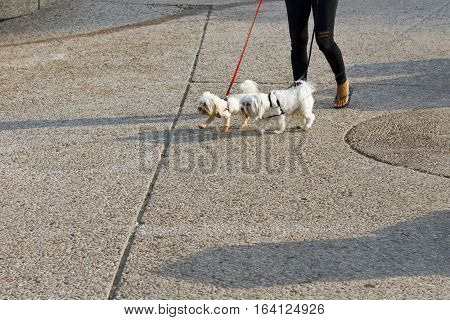 Woman in Torn Jeans Walking the Dogs in Tel Aviv. The dogs is Wearing a Collar and it is on a Leash.
