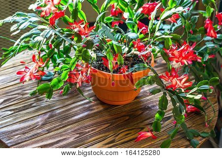 Christmas cactus Thanksgiving cactus crab holiday cactus Schlumbergera Truncata zygocactus delicate flower pot wooden background Urban gardening home planting houseplant Concept image interior design