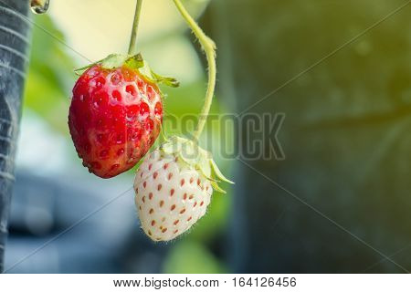 Ripe berries and foliage strawberry. Strawberries on a strawberry plant on a strawberry plantation