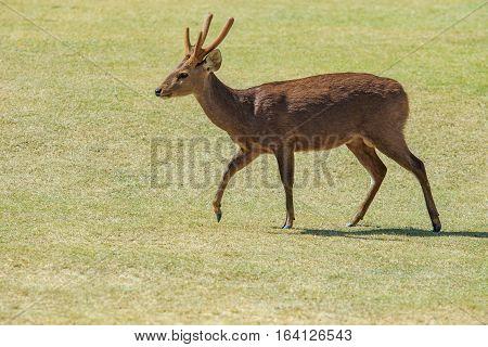 male antlered deer in green grass field