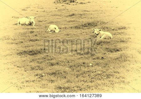 Sheeps Grazing on Green Pasture in the Ardennes. A flock of sheep lying on the meadow in Belgium. Vintage Style Toned Picture