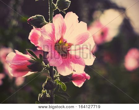 Close up beautiful pink hollyhock flowers at sunset vintage filter effect