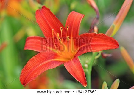 Close up of an orange lily in flower