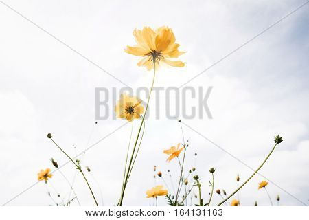 Retro style of yellow cosmos flowers swaying in the wind and against blue sky background.