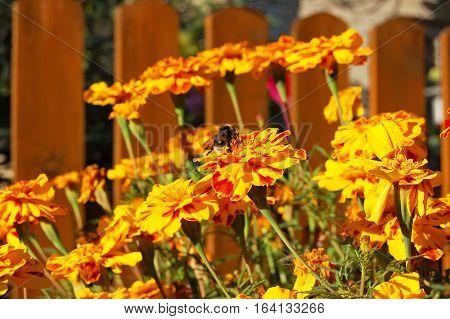 Tagetes Flower In Flowerbed