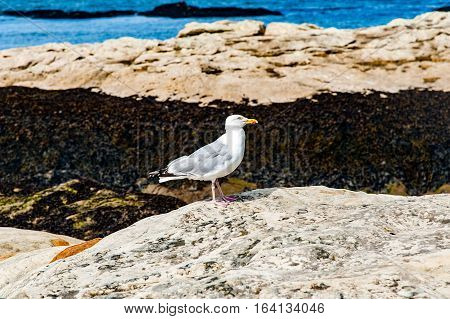 Diferents views of a seagull in St. Andrews beach in his bay next the famous golf field. St. Andrews Scotland UK