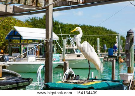great white egret in port of Islamorada, Florida Keys. Waiting for fish at Robbie's Marina.