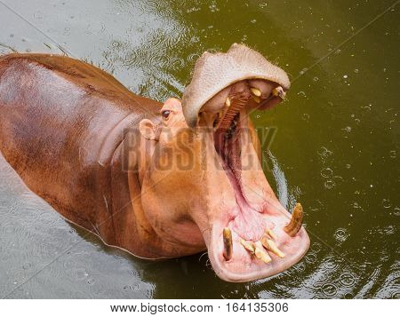 Hippopotamus (Hippopotamus amphibius) with open mouth in water at Songkhla Thailand
