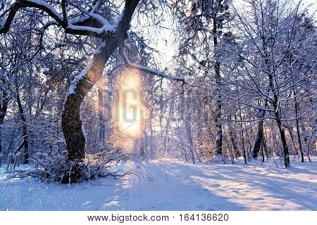 Beautiful sunrise in a winter park snow falling from the tree and sun rays