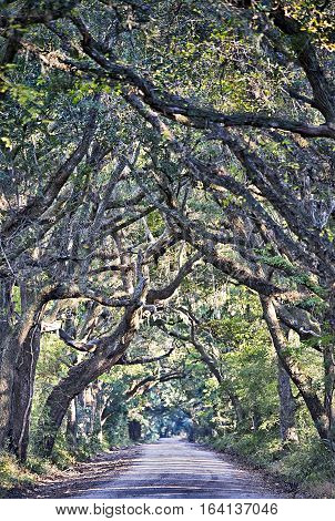 Botany Bay Plantation Spooky Dirt Road Marsh Oak Trees Tunnel with spanish moss on Edisto Island SC